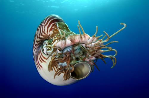 le nautile et ses tentacules