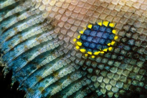 poisson plat à 4 ocelles détails-2