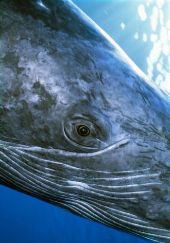 oeil du baleineau 2005 2